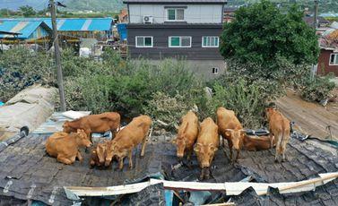 أبقار عالقة على سطح منزل في منطقة غوريي الكورية الجنوبية في التاسع من آب/أغسطس 2020