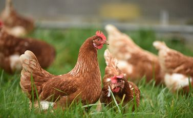 دجاج - CC0
