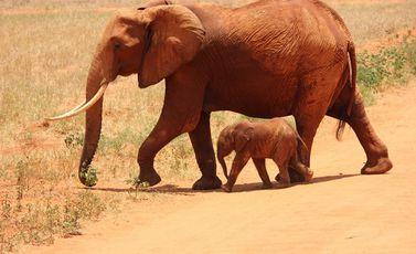 فيل منوعات - أرشيفية CC0