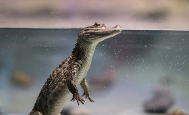 crocodile-4918820_1280